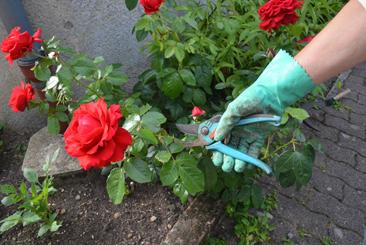 la main du jardinier protégée par un gant taille le rosier